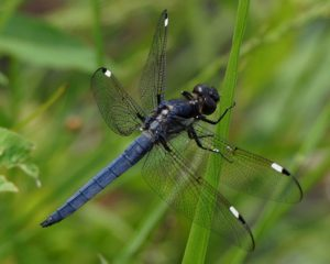 Counting Dragonflies