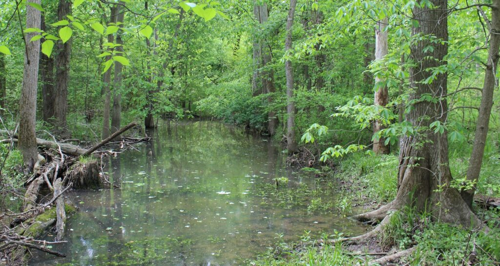 Existing vernal pool wetland within the streamside forest of the Clary-Boulee-McDonald Preserve.This relic wetland bench within the restoration area will be enhanced and expanded through this project.